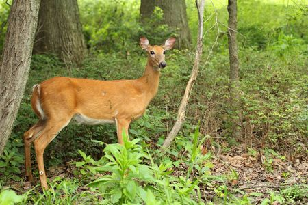 odocoileus: Female white-tailed deer, Odocoileus virginianus, standing in the woods