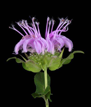 Wild bergamot or beebalm, Monarda fistulosa, isolated on black