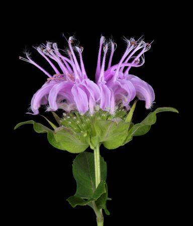 Wild bergamot or beebalm, Monarda fistulosa, isolated on black
