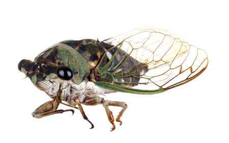 Anual cicada, Tibicen linnei, isolated on white