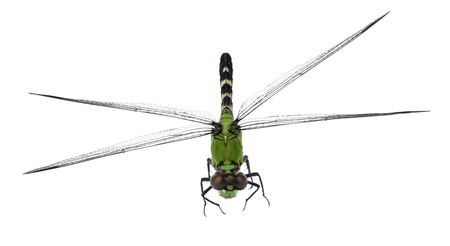 Eastern pondhawk dragonfly, Erythemis simplicicollis, isolated on white