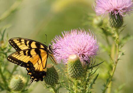 Eastern tiger swallowtail, Papilio glaucus, feeding on a milk thistle, Silybum marianum Stock Photo - 7772310
