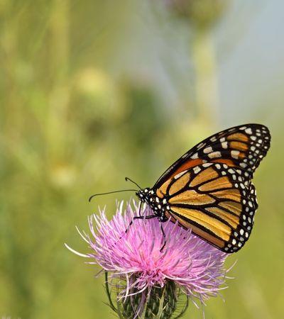 바둑 나비, Danaus plexippus, 우유 엉겅퀴 꽃에 먹이, Silybum marianum