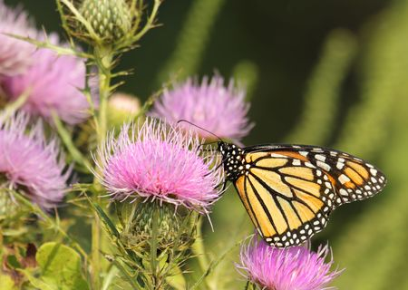 danaus: Monarch butterfly, Danaus plexippus, feeding on a milk thistle flower, Silybum marianum