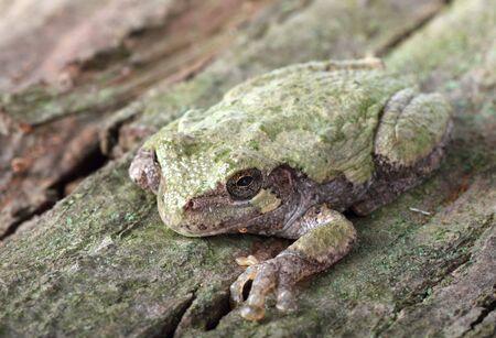 versicolor: Eastern gray treefrog, Hyla versicolor, on a tree