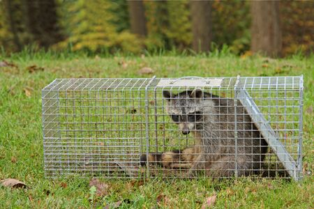 Raccoon, Procyon lotor, captured in an animal trap