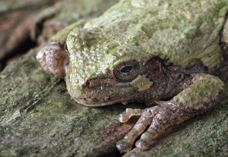 hyla: Closeup of an eastern gray treefrog, hyla versicolor