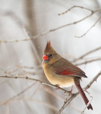 redbird: Female northern cardinal, cardinalis cardinalis, perched on a tree branch with snow falling Stock Photo