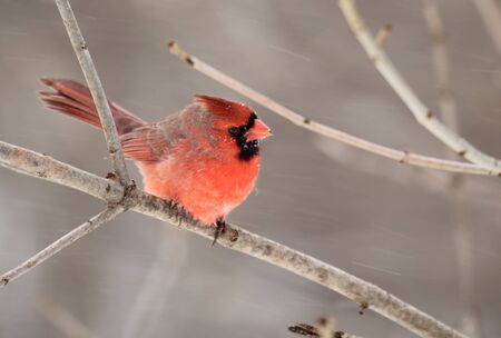 redbird: Male northern cardinal, Cardinalis cardinalis, perched on a tree branch with blowing snow