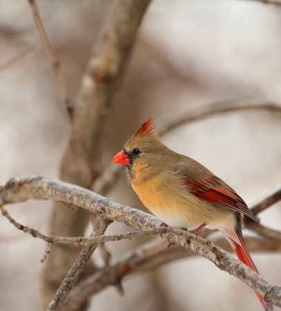 redbird: Female northern cardinal, Cardinalis cardinalis, perched on a tree branch
