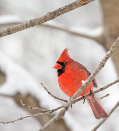 Male northern cardinal, Cardinalis cardinalis, perched on a tree branch in the winter photo