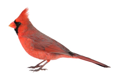cardinal bird: Male northern cardinal, Cardinalis cardinalis, isolated on white Stock Photo