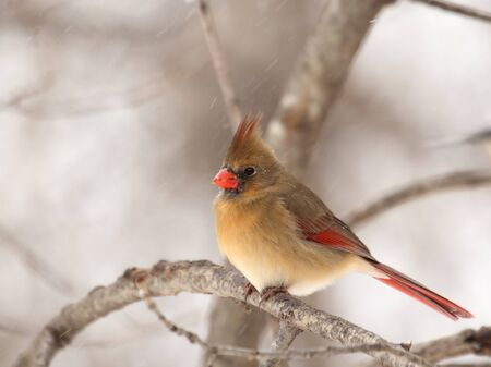 Female northern cardinal, Cardinalis cardinalis, perched on a tree branch photo