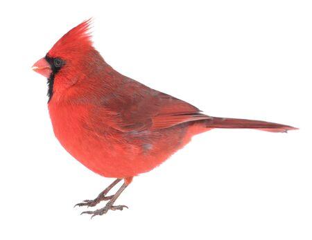Male northern cardinal, Cardinalis cardinalis, isolated on white Stock Photo