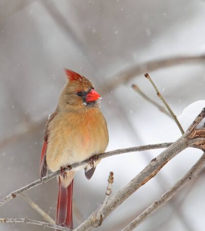 Female northern cardinal, Cardinalis cardinalis, perched on a branch with snow falling Фото со стока