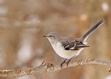 mockingbird: Northern mockingbird, Mimus polyglottos, perched on a tree branch