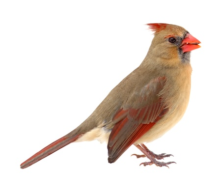 redbird: Female northern cardinal, Cardinalis cardinalis, isolated on white