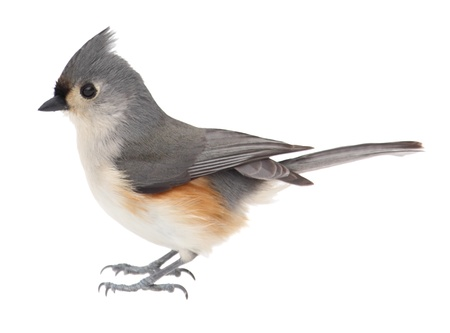 tufted: Tufted titmouse, Baeolophus bicolor, isolated on white