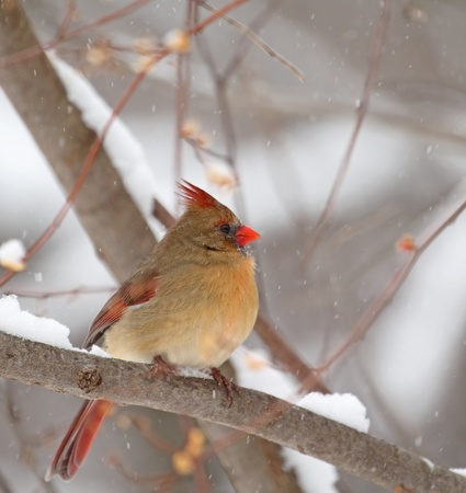 Female northern cardinal, Cardinalis cardinalis, perched on a branch in the snow photo