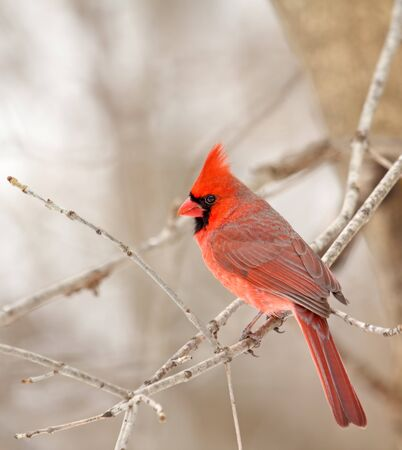 redbird: Male northern cardinal, Cardinalis cardinalis, perched on a tree branch Stock Photo