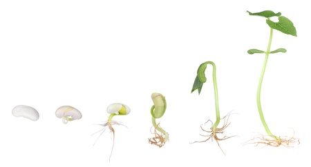 bean sprouts: Bean plant growing from a seed to a seedling isolated on white