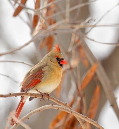 Female norhtern cardinal,Cardinalis cardinalis, perched on a tree branch photo