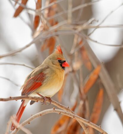 redbird: Female norhtern cardinal,Cardinalis cardinalis, perched on a tree branch