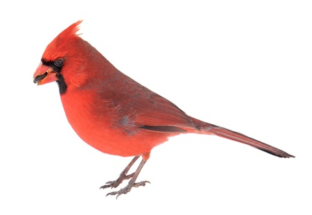 cardinal bird: Male northern cardinal, Cardinalis cardinalis, with a seed in its beak isolated on white