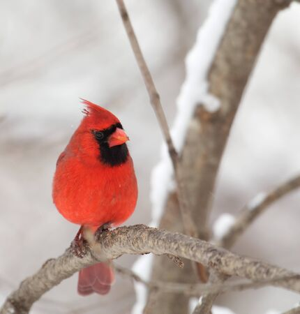 Male northern cardinal, Cardinalis cardinalis, perched on a tree branch 版權商用圖片
