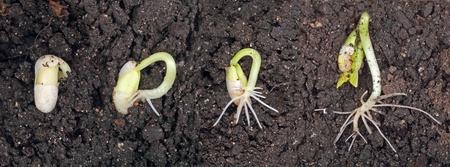 Bean の植物の発芽や土壌で成長しています。 写真素材