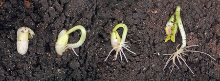 Bean plant sprouting and growing in the soil photo