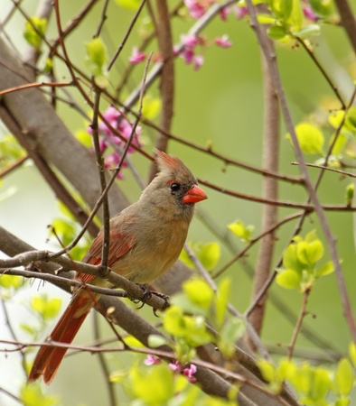 redbird: Female northern cardinal, Cardinalis cardinalis, perched in a blooming tree