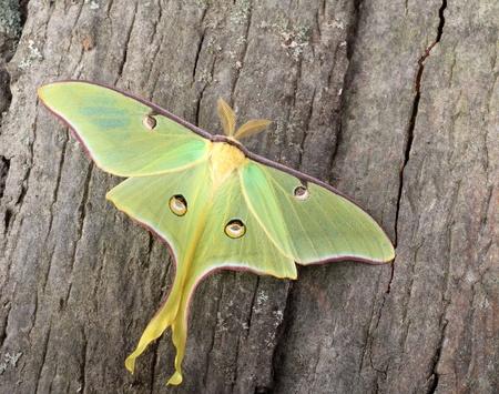 Luna moth, Actias luna, on side of a tree Banco de Imagens