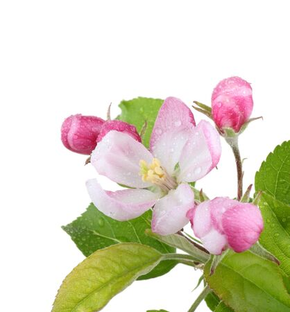 Apple blossom with water drops isolated on white