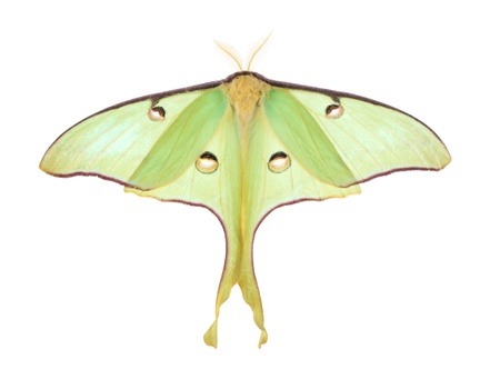Luna moth, Actias luna, isolated on white Banco de Imagens - 9641865