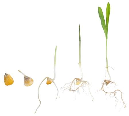 トウモロコシの苗を白で隔離されるに種からの成長 写真素材