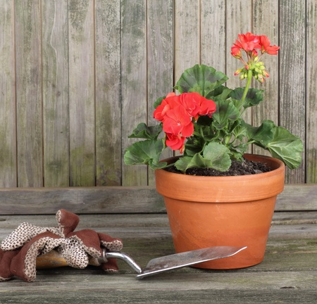 Red geranium in a pot with gardening gloves and trowel against a weathered fence photo