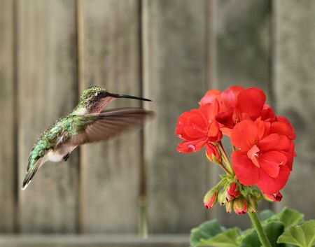 Female ruby-throated hummingbird, Archilochus colubris, hovering next to a red geranium photo
