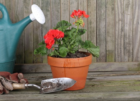 Red geranium in a pot with gardening gloves, watering can and trowel against a weathered fence