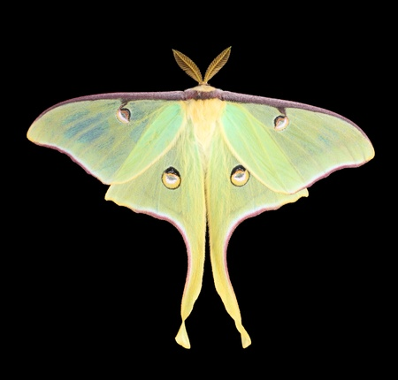 Luna moth, Actias luna, isolated on black