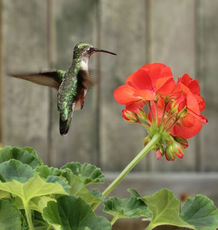 Female ruby-throated hummingbird, Archilochus colubris, hovering by a red geranium