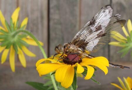 Twelve-spotted skimmer dragonfly, Libellula pulchella, on a black-eyed susan flower Banco de Imagens