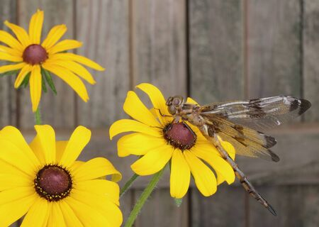 libellula: Twelve-spotted skimmer dragonfly, Libellula pulchella, on a black-eyed susan flower Stock Photo