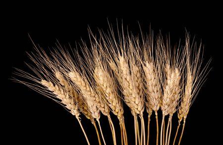 黒に分離された小麦の茎の束 写真素材