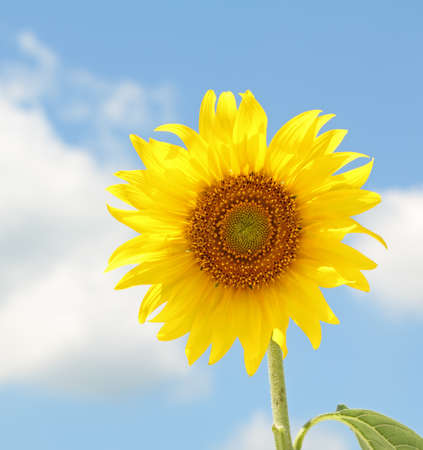 helianthus annuus: Sunflower, Helianthus annuus, on a sunny day against blue sky and clouds