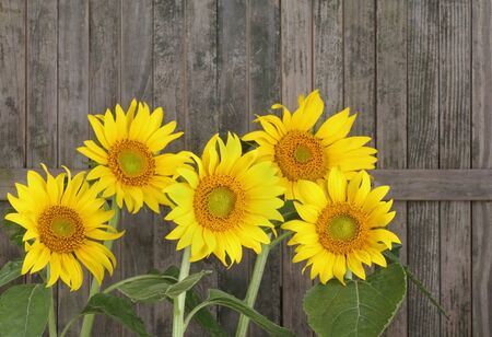helianthus: Sunflower, Helianthus annuus, against a weathered fence