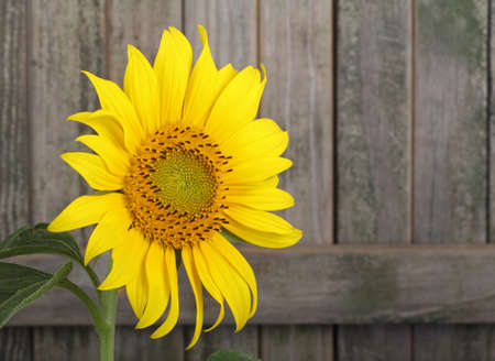 Sunflower, Helianthus annuus, against a weathered fence