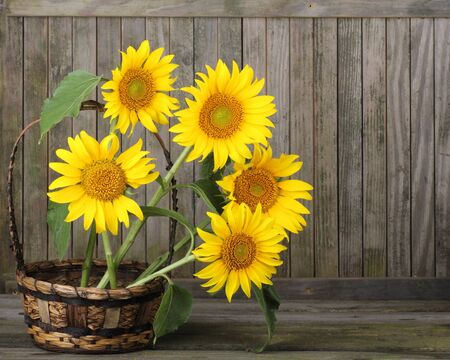 helianthus: Sunflower, Helianthus annuus, in a basket against a weathered fence Stock Photo