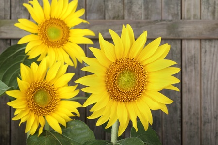 helianthus: Sunflowers, Helianthus annuus, against a wooden fence