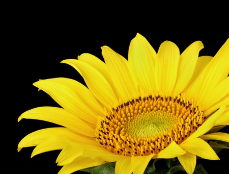 Closeup of a sunflowers, Helianthus annuus, isolated on black